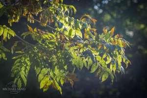 Kend dine vildtplanter: Ask