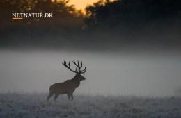 Er det derfor nogle hjorte bliver gamle?