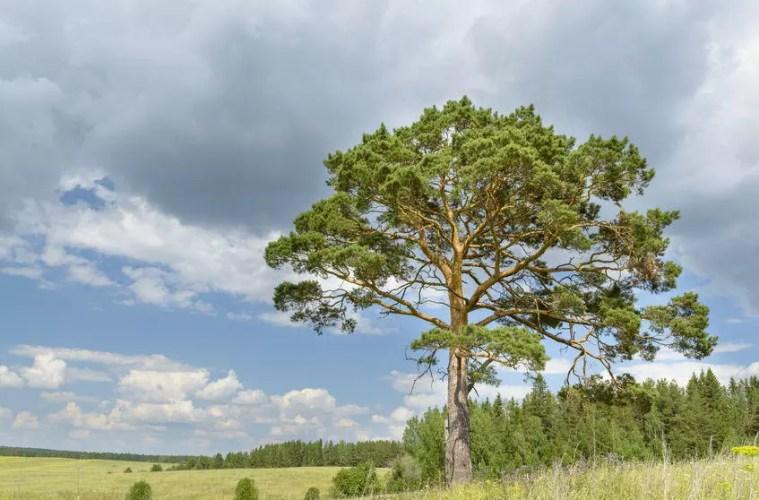 Kend dine vildtplanter: Skovfyr