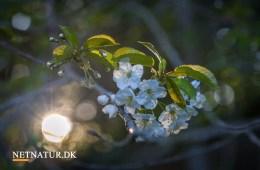 Kend dine vildtplanter: Fuglekirsebær