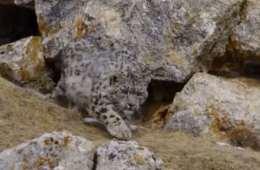 Sneleopard i unik videooptagelse