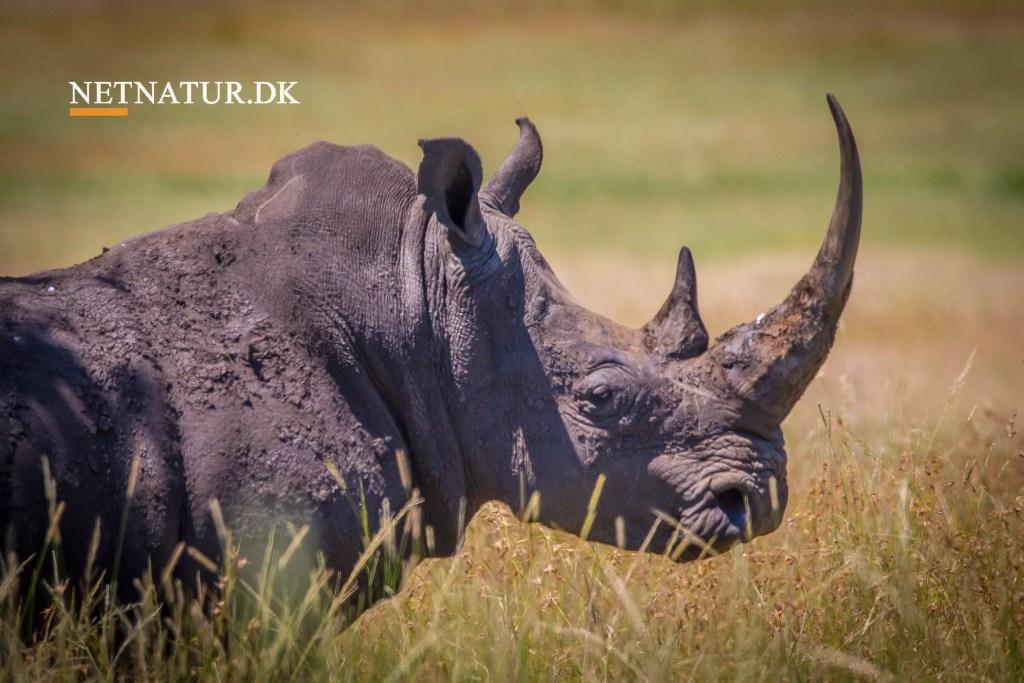 Billig jagt på afhornede næsehorn