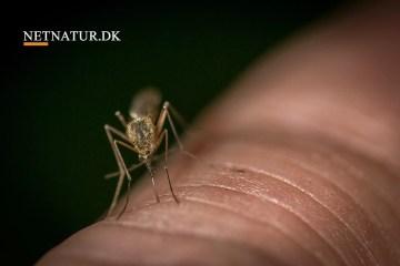 Bukkejagt og myg