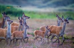 Naturfilm optaget i tæt befolkede Holland