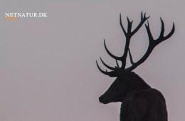 Argentina: Kronhjortejagt i højlandet