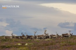 Viden om: Rensdyr i Danmark
