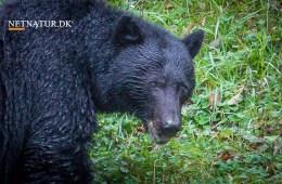 Sortbjørn angriber jæger på video