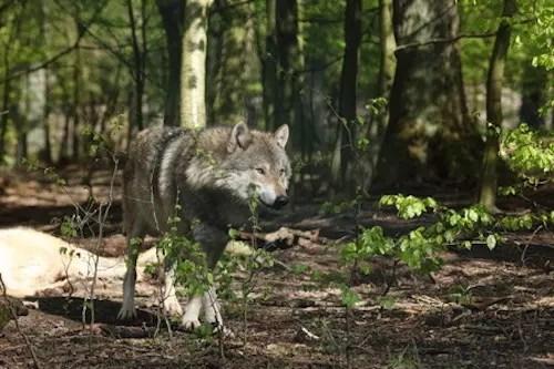 Hunulv i Danmark nu dokumenteret med DNA