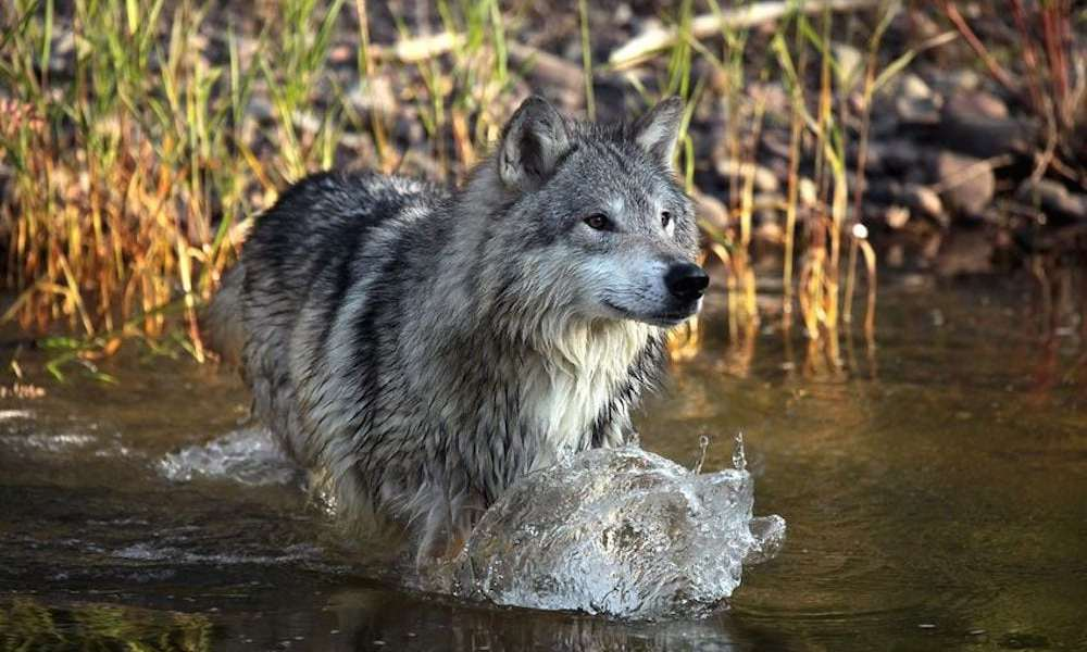Vi skal udrydde konflikterne, ikke de danske ulve