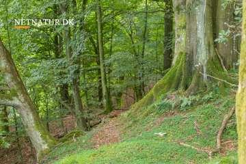 Urørt skov med tilskud