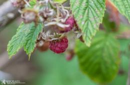 Marmelade af lækre skovhindbær