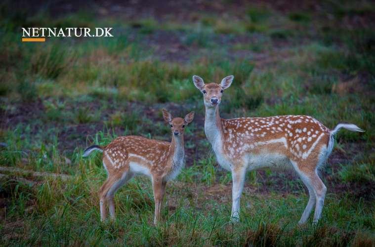 Hvor findes de forskellige dyrearter i Danmark?