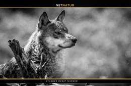 Må ulv skydes i nødværge til forsvar af hund?