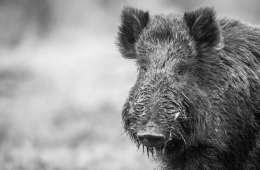 Schweisshundefører angrebet af vildsvin