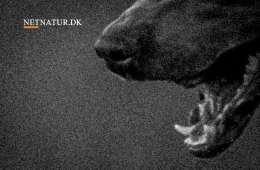 DNA viser at hunde stod bag 10 dræbte får