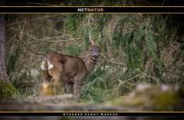 Vildtforsker frikender jægere i sag om råvildtsyge