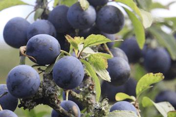 Slåen - nyd den som nordiske oliven