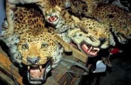 Her er de 10 mest eftertragtede og truede dyr