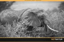 Kina støtter forbud mod elfenben