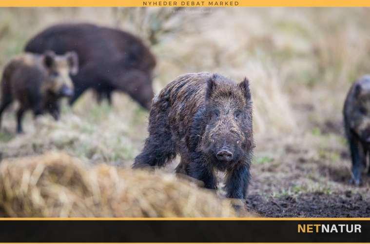 Kommissionen opfordres til øget indsats mod afrikansk svinepest