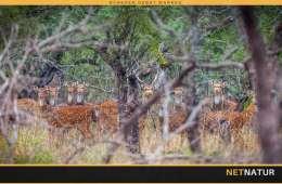 Hjortejagt i Australien
