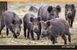 Miljøministeren tillader, at vildsvin må skydes døgnet rundt