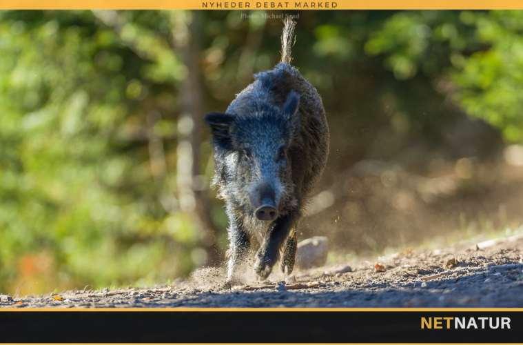 Schleswig-Holsten ønsker ændring af jagtloven