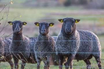 Bedre mulighed for tilskud til ulvesikrede hegn