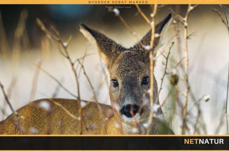 Jagt på rå og lam i Skotland