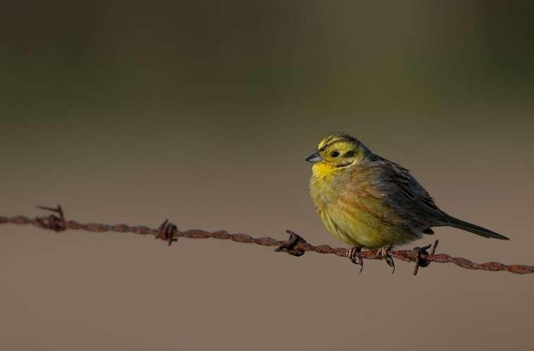 Omkring 3 mio. fugle er forsvundet i åbent land