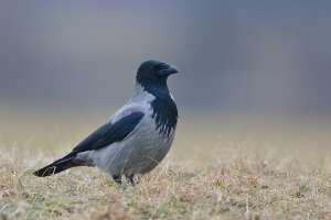 Gråkragen - kragefugl med årvågent falkeblik