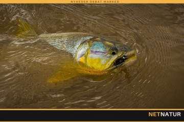 Golden Dorados i Bolivia