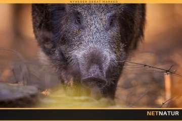 Afhandling frifinder vildsvin som spreder af afrikansk svinepest