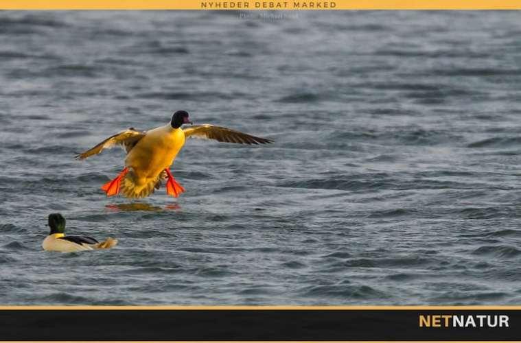 Stor skallesluger - en farverig fisker