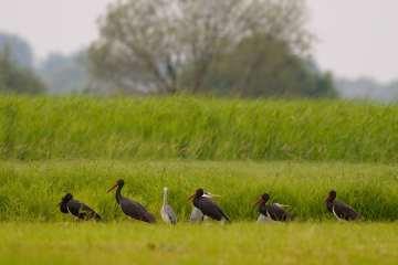 Sort stork - omstrejfer på gæstevisit