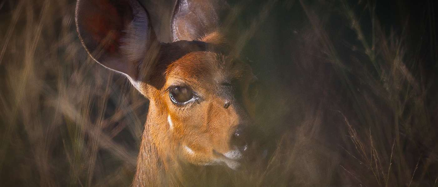 Flodhest beskytter Bushbuck i knibe