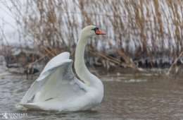 Knopsvanen - hele Danmarks nationalfugl