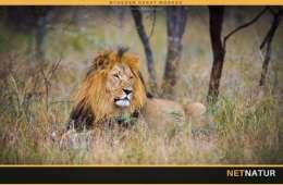 PHASA forsvarer jagt på opdrættede løver i Sydafrika