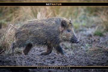 Endnu et EU-land ramt af afrikansk svinepest