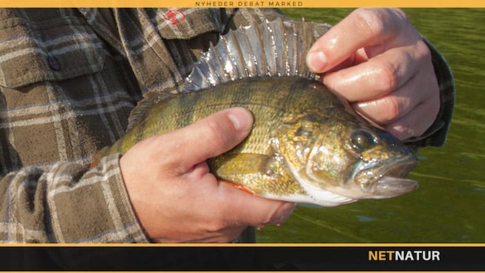 Aborren - fisken som både er til fersk- og brakvand