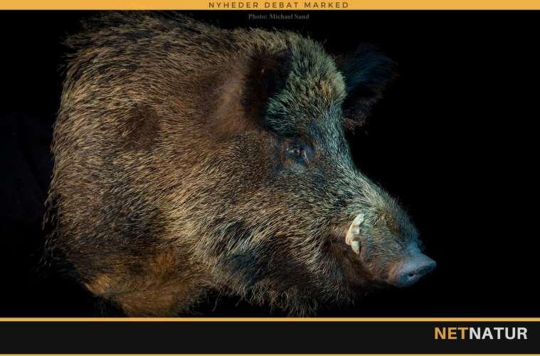 Supplerende links til debat om afrikansk svinepest