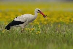 Hvid stork