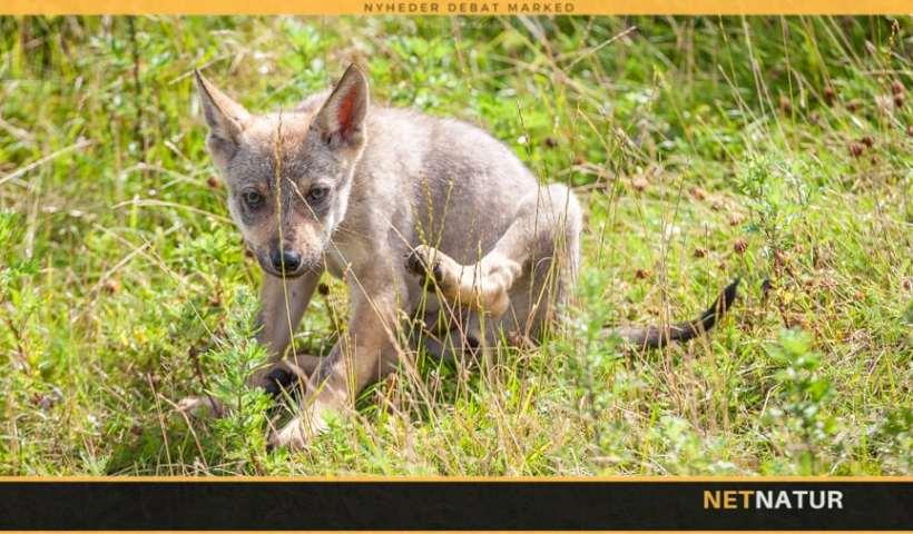 Statusrapport for ulve i og udenfor ulvezone