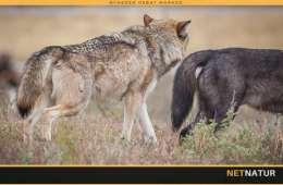 Seks ulvehybrider nedlagt under reguleringsjagt