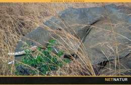 GPS-halsbånd skal redde Tanzanias elefanter