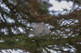 Tyrkerduen - den lille grå humørbombe