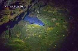 Ålen - mere kendt som røget end speget