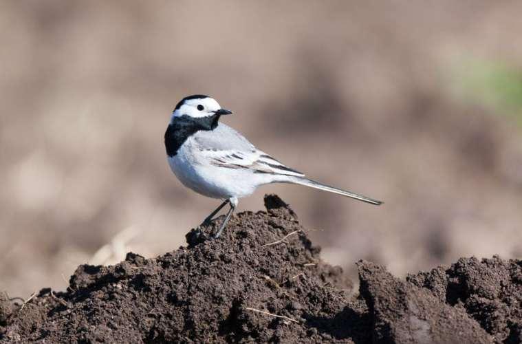 Hvor flyver fuglene hen, når de forlader Danmark?