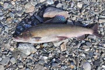 Stalling - en laksefisk med høj finneføring