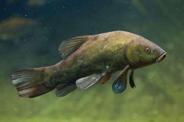 Suderen - den smukke skomager-fisk